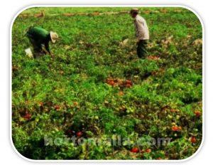 Anteriormente se realizaban los cultivos sin ningún tipo de tutorado.